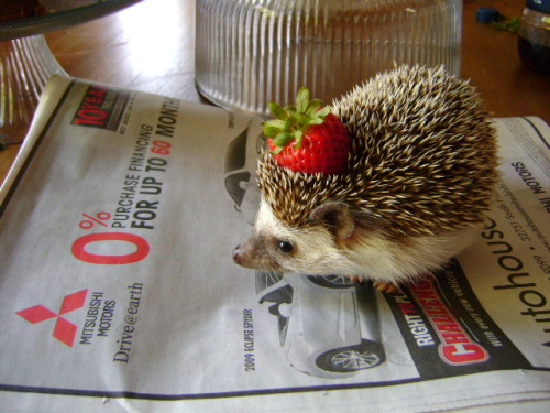 toogoodtobetruee:  if you've been having a bad day here's a hedgehog with a strawberry on its head even if you haven't been having a bad day here's something to make your day better