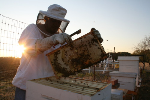 "Coty Cooper, a hobbyist beekeeper in Alvarado, Texas, checks on honey production in one of his 40-something hives on Oct. 12. Cooper is one of many locals who say the drought has devastated beekeeping.  ""[The drought] didn't impact it, it shut us down,"" he says. ""There's just no honey. If there ain't no rain, there ain't no plants, there ain't no honey."" Like Cooper, Joshua, Texas residents Don and Erma Russell, who have been beekeeping for about 13 years, say the weather has affected their bee colonies. In 2010, the Russells kept up to 100 hives at a time and sold about 60 gallons of honey. This year, they're at 53 hives and have only sold six gallons. ""I've lost money,"" Don says, ""because the weather has been so dry and there hasn't been much honey."" John Talbert of the Texas Beekeepers Association says honey production in Texas has dropped about 50 percent due to the drought."