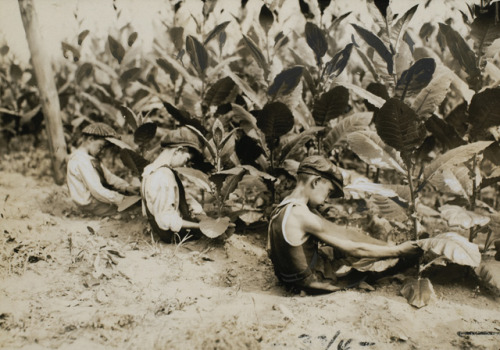 "© Lewis Wickes Hine,  Aug. 2, 1917, Picking Shade-grown Tobacco ""I kissed my first girl and smoked my first cigarette on the same day. I haven't had time for tobacco since."" (Arturo Toscanini)"
