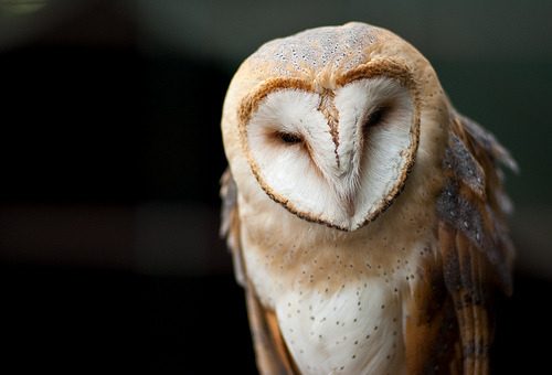 Barn Owl (by Sarsie & Mark)