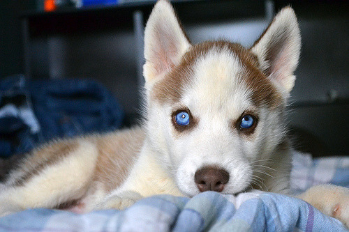 ban4nas:  the eyes  Husky eyes!