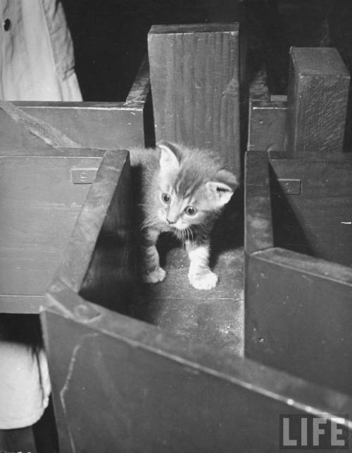 Nina Leen, Kitten walking through a maze during psychological testing at Brooklyn College, 1941. Source: LIFE Photo Archive, hosted by Google.