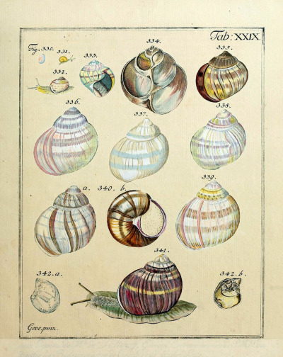 "Land Snail Shells Did you know that the science of studying gastropod shells is called conchology? Almost 90% of gastropod shells coil to the right. Oh, oh, and the color ""Tyrian purple"" (the purple that only emperors and royalty were allowed to - or could afford to - wear) comes from the Spiny dye-murex shell! Shells are cool!  Conchylien-Cabinet Lüneburg. Nicolaus Georg Gevens, 1830"
