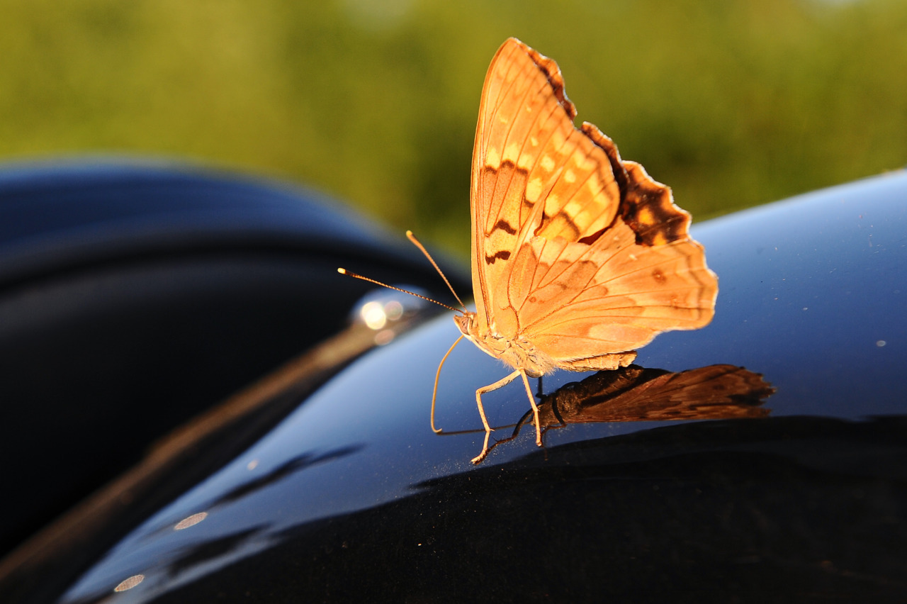 This butterfly wanted to go for a ride!