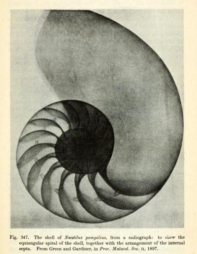 Radiograph of Nautilus Shell Though it's not a perfect golden spiral, the chambered nautilus shells (of both the extant and extinct species) are some of the finest natural examples of a logarithmic spiral. Build thee more stately mansions, O my soul,As the swift seasons roll!Leave thy low-vaulted past!Let each new temple, nobler than the last,Shut thee from heaven with a dome more vast,Till thou at length art free,Leaving thine outgrown shell by life's unresting sea!- Oliver Wendell Holmes On Growth and Form. D'Arcy Wentworth Thompson, 1945