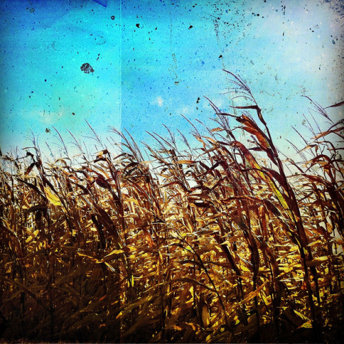 corn maze by Jennifer Ford