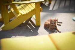 Yellow chairs and orange kitty.