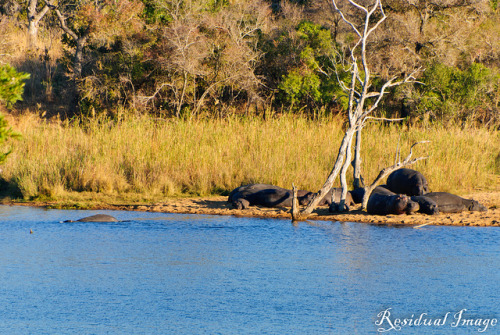 Hippos! on Flickr.Via Flickr: Hippos lazing by the lake - we got there just in time to watch them jump in! Kruger Park, South Africa (August 2011)