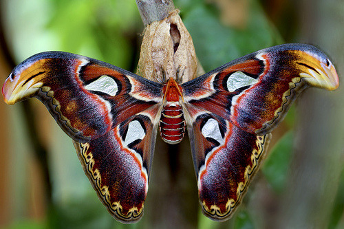 Holy smokes.  rhamphotheca:  insectlove:fuckyeaheukaryotes: Atlas Moth (Attacus atlas) * The moth with the largest wingspread (by width)
