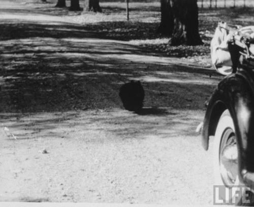 Fala, Scottish terrier of FDR, chasing his master's car on the  property of FDR's country house, Hyde Park, N.Y., 1945. (LIFE)