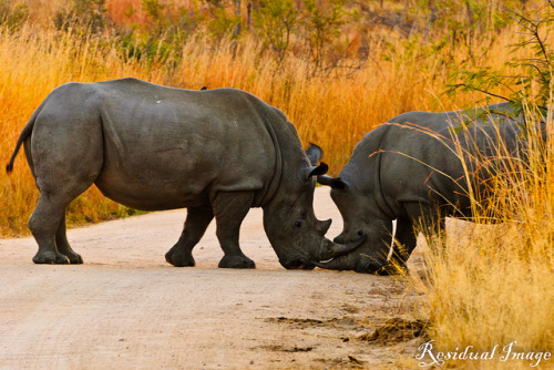 Playful rhinos on Flickr.Via Flickr: Rhinos play-fighting at sun-rise Kruger Park, South Africa (August 2011)