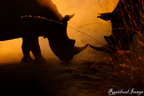 Ready… set… on Flickr.Via Flickr: Rhinos play-fighting at sun-rise Kruger Park, South Africa (August 2011)
