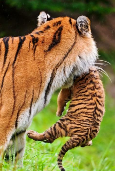giddytf2:     Always reblog big kitties with their leetle kitties.