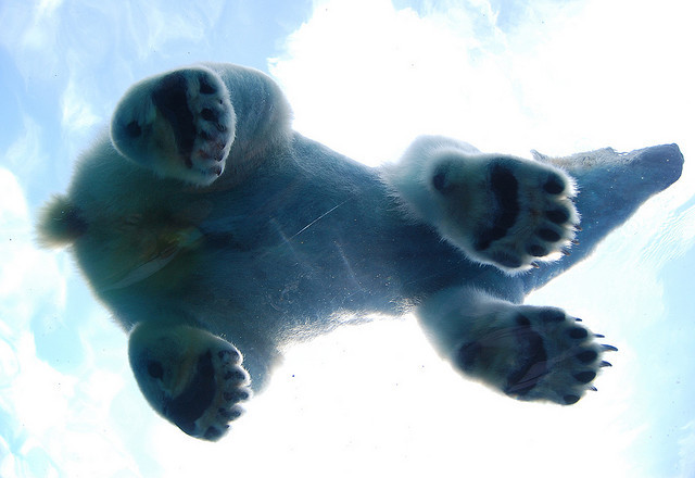 The underbelly of my spirit animal. The majestic polar bear. the-iridescence:  (via What's Up Mr. Bear? | Flickr - Photo Sharing!)