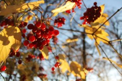 Autumn berries. Russia, mine.