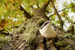 harvestheart:  Nuthatch, one of the best climbers among birds, on the oak's trunk. Photography by Tadas Naujokatis