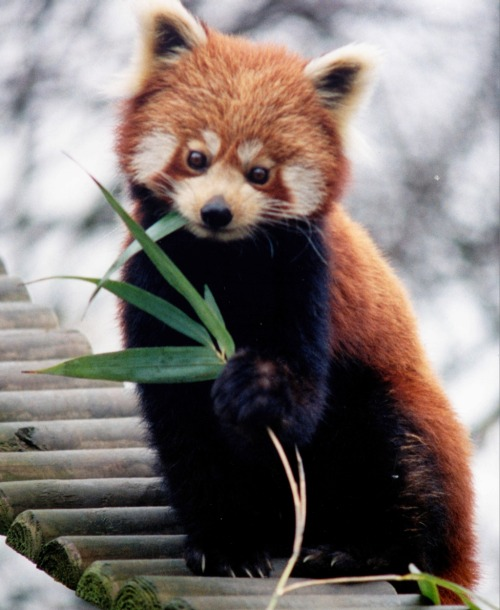 Living Fossils - Red Panda Red pandas are small arboreal mammals of the genus Ailurus, and are the only extant species (Ailurus fulgens) in said genus. The red panda is slightly larger than a domestic cat, looks a bit like a red raccoon, and waddles because it's front legs are shorter than the back legs. It feeds mostly on bamboo, but is omnivorous, eating birds, eggs, insects, and small mammals. It is mainly nocturnal, and, much like tumblr users, leads a very sedentary lifestyle in the day. It used to be classified with raccoons, and then bears, but is now seperated into it's own family, Ailuridae.  Photo from the Wikimedia Commons, for more information visit: http://en.wikipedia.org/wiki/File:Ailurus_fulgens_RoterPanda_LesserPanda.jpg