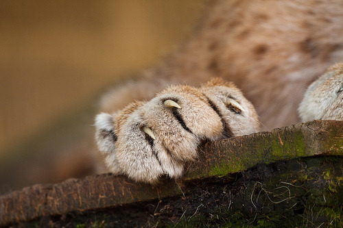 lovelybigcats:  Cat Survival Trust - July 2011 (by patrick-walker)