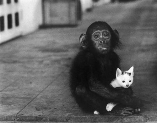 legrandcirque:  Baby chimpanzee holding kitten at Dr. Albert Schweitzer's hospital and leper village. Photograph by W. Eugene Smith. Lambarene, Gabon, 1954.