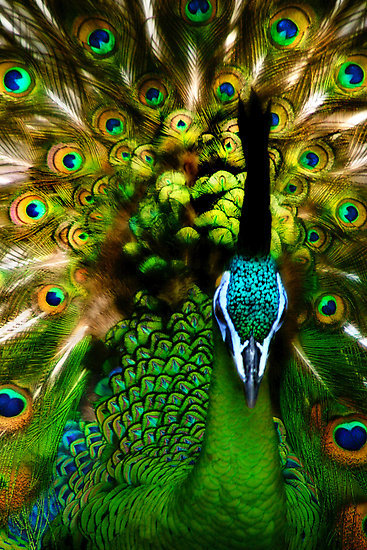Portrait of a Peacock (via  BethBernier | RedBubble)