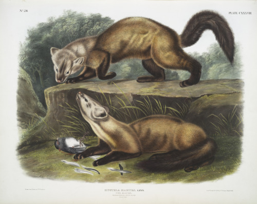 biomedicalephemera:  Mustela martes (now Martes martes), the Pine Marten Martens, like all mustelids, are carnivorous predators, and in an attempt to reduce the threat of the invasive gray squirrel in the UK, the native pine marten (which had previously been extremely rare to the point of being assumed extinct in most areas) is being reintroduced. Though the marten is not exactly picky about what squirrel it would choose to eat, both the gray squirrel and the marten spend much of their time on the ground, whereas the red squirrel is much more arboreal. This makes the grays far more likely than reds to come in contact with a hungry marten.