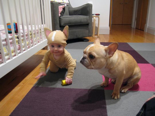 buzzfeed:  Costume of the Year. End of discussion. [Baby French Bulldog Costume]   Best baby costume EVER!!