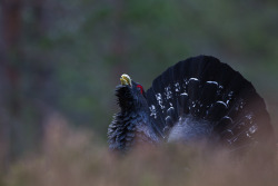 Capercaillie Portrait by John Stuart-Clarke on Flickr