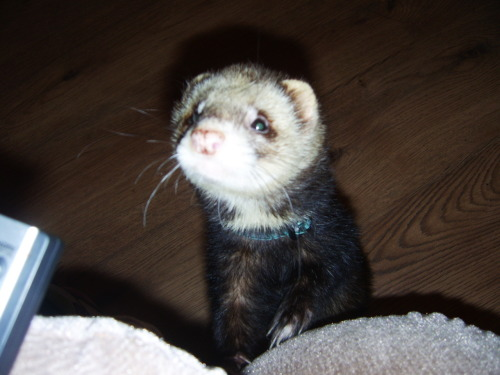 This is the ferret I claimed as my own. Ritsu is his name. Cute in the face however, A TERROR to litter train.