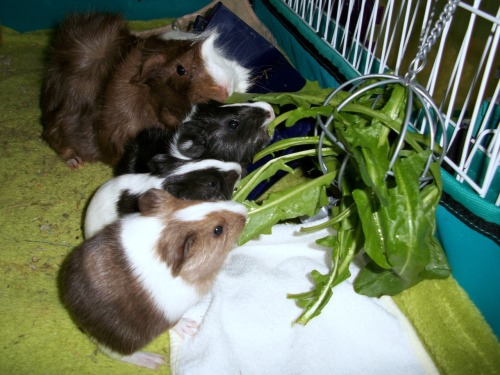 PIGTURE OF THE DAY: a family that noms together sticks together! :D Mama Holly might still have been nursing her wee ones, but she also wanted them to learn to nom nom nom yummy fresh greens! Dandelions for everyone! :)