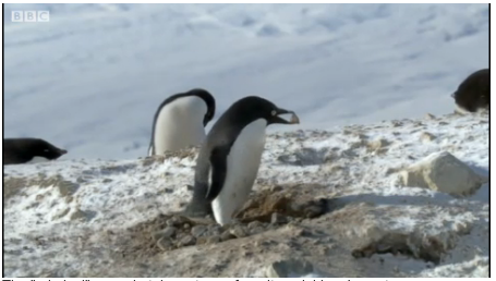 "'Criminal' penguin caught on film  ""Adelies are like festival-goers that have had too much caffeine,"" he said. ""They're aggressive and hyperactive."" Despite this, Mr Smith managed to capture a remarkable sequence, with one penguin repeatedly returning to its nest to add stones, apparently unaware of the fact that his neighbour would steal a stone every time his nest was unattended."