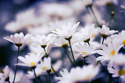 Daisy And Daisy And Daisy (Ingard Jensen) via julie911-2009, Norway