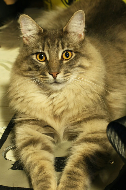 Maine coon cat by fox_kiyo on Flickr.