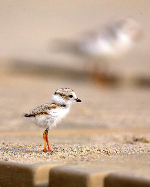 onceuponawildflower:  Under/Over The Boardwalk ~ Endangered Piping Plover Chick by William  Dalton on Flickr. [Endangered] Piping Plover Chick