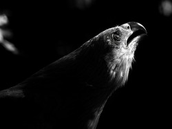 birdblog:  Howling At The Moon by *InayatShah