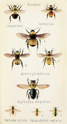 scientificillustration:  n508_w1150 by BioDivLibrary on Flickr. Bombus Field book of insectsNew York,G.P. Putnam's sons,1918.biodiversitylibrary.org/item/17499