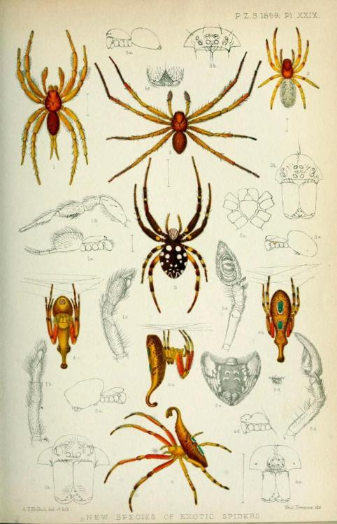 "biomedicalephemera:  ""New Species of Exotic Spiders"" - Spiders and Spider Anatomy I don't know the species of these spiders, but I love the weird back-hook thing on the lowest species on this plate. Anyone know what these guys are? Would love to know! Proceedings of the Zoological Society of London. 1899."
