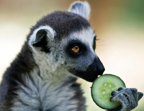 Hungry Lemur By Michael Lisman