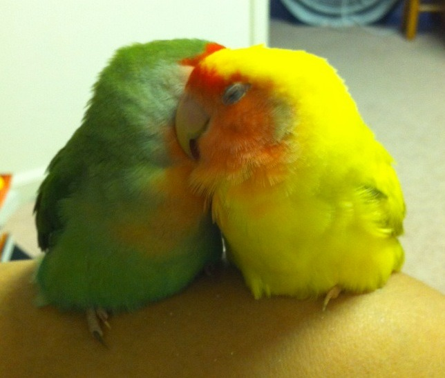 fat-birds:  My lovebirds! (And the bits of bird dandruff they left on my leg 8|)  ^^ THIS WAS A SUBMISSION OF MINE 8D MY BIRDS ARE TUMBLR DEMI-FAMOUS WELL, DEMI-FAMOUS AMONGST THE FAT BIRD FAN CONTINGENT WELL YOU KNOW WHAT I MEAN