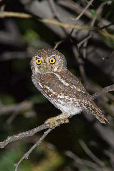 wildlifecollective:  Elf OwlMicrathene whitneyiThe elf owl is a very small owl with a very round head and no ear tufts. Its plumage is light gray and brown. The face often has a reddish-brown facial disc with white eyebrows and gray spots on the forehead and wings. The belly is lighter grey to white and the tail is very short and striped. The wings are long, extending to the base of the tail feathers when resting. The feet and talons are covered in feathers and are very small and weak.This owl nests in woodpecker cavities in cacti and deciduous trees. Often times the woodpecker cavities are not abandoned, thus raising competition between the owl and the woodpecker. They lay 1-5 white eggs in April or May. During incubation the female may go off to hunt at dusk while the male incubates the eggs.The elf owl is found in Southwest USA to Central Mexico and Baja California. It inhabits arid deserts with many cacti, riparian woodlands, tablelands, woody habitats, canyons, plateaus, mountain slopes and deserts with a high occurrence of giant saguaro cacti. It is a nocturnal bird with bat-like flight that predates upon small, weak prey-like insects, grasshoppers, caterpillars, cicadas and scorpions. Their diet consists mostly of insects either that are resting on tree branches or on the ground. They forage for insects from the ground. Once they have caught the insect, they bring it back to a tree branch where they tear it apart to eat it. Predators include large mammals that can reach the cavities of the trees. Facts | Photo © Greg Lasley