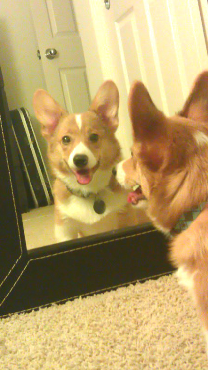 mirror mirror on the wall, who's the cutest corgi of them all?