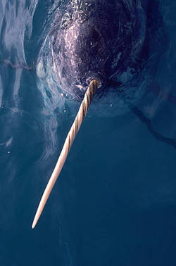 "take-nothing-but-photos:  WWF is supporting a new project to track narwhals, Arctic whales best known for the long tusk that projects forward from their faces. The project partners fitted the little-researched whales with satellite tracking devices. WWF is also launching a web page to showcase the partners' fieldwork and research, with maps and information about the latest movements of the narwhals as they move around Baffin Bay in Canada's Nunavut territory.Pete Ewins, Arctic species specialist for WWF-Canada, said that it is expected the project will contribute fascinating information about the habits of narwhals.""We're supporting this project because it is a chance to better understand these animals while their world changes around them. We know Narwhals are often associated with sea ice, and we know the sea ice is shrinking. WWF is trying to understand how narwhals, as well as all other ice associated animals in the arctic can adapt to a changing environment. We can put this knowledge together with existing Inuit knowledge, and we can work with Inuit and other stakeholders to help the animals survive the coming changes."""