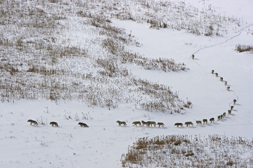 allcreatures:  A massive pack of 25 timberwolves hunting  bison on the Arctic circle in northern Canada. In mid-winter in Wood  Buffalo National Park temperatures hover around -40C. The wolf pack, led  by the alpha female, travel single-file through the deep snow to save  energy. The size of the pack is a sign of how rich their prey base is  during winter when the bison are more restricted by poor feeding and  deep snow. The wolf packs in this National Park are the only wolves in  the world that specialise in hunting bison ten times their size. They  have grown to be the largest and most powerful wolves on earth. Photograph: Chadden Hunter/BBC NHU