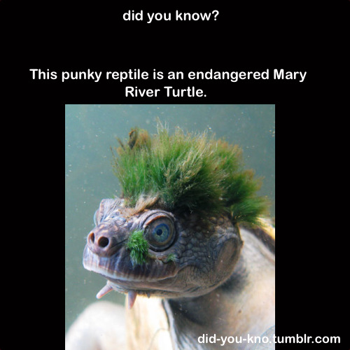 The lurid green Mohawk is actually a type of algae, growing on the turtle's skin.