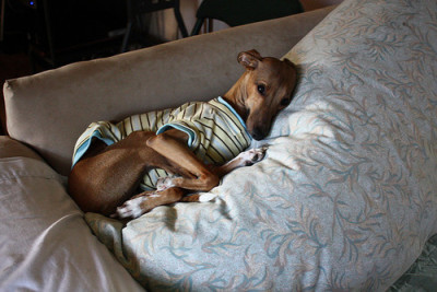 bromo-aj:  i want an italian greyhound :(  any dog will do but i surely would take this one :-)