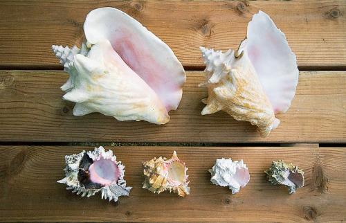 i-ncense:  conches by meg han on Flickr.
