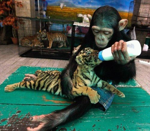 dogsandcatslivingtogether:  monkey feeding baby tiger