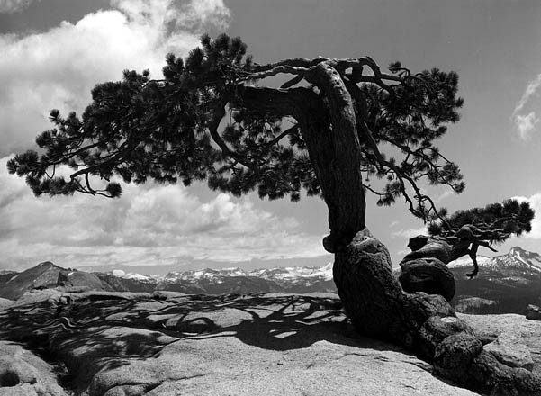 """Jeffrey Pine On Sentinel Dome"" – Ansel Adams"