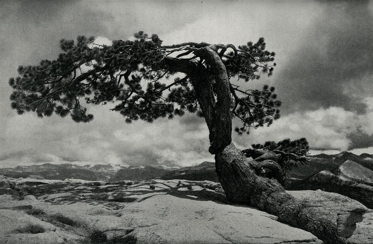 "Jeffrey Pine On Sentinel Dome"" A.C. Pillsbury photo published in""YOSEMITE AND ITS HIGH SIERRA"" by John H. Williams, 1914 edition; pg 91. link"