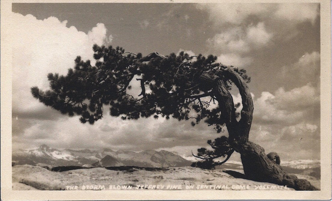 "Pillsbury postcard: ""THE STORM BLOWN JEFFREY PINE…"" link"