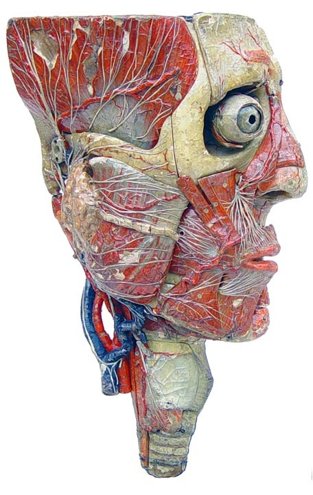 sutured-infection:  French Auzoux anatomical model, 1855 (Antique Scientifica)
